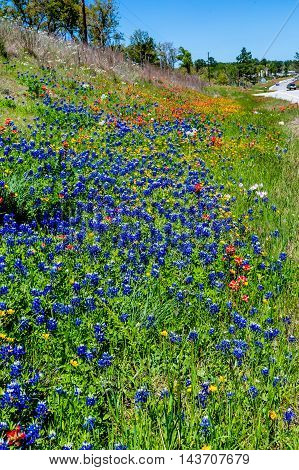 A Texas Roadside Covered with Various Wildflowers Including the Famous Bright Blue Texas Bluebonnet (Lupinus texensis) and Bright Orange Indian Paintbrush Wildflowers as Well as Others.