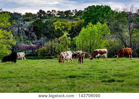 A Herd of the Famous Texas Longhorn Cattle Grazing in a Pasture in Texas.