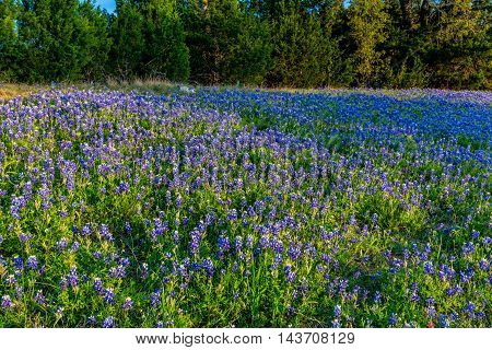 A Wide Angle View of a Beautiful Hillside Blanketed with the Famous Texas Bluebonnet (Lupinus texensis) Wildflowers in the Setting Sun.