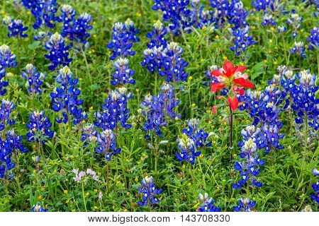 Closeup of a Cluster of Famous Texas Bluebonnet (Lupinus texensis) Wildflowers with a Single Standout Indian Paintbrush.