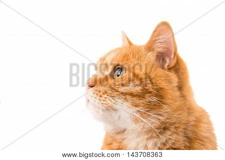 ginger brown cat isolated on white background