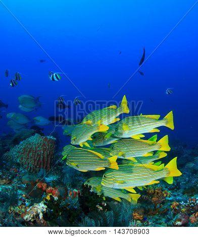Reef fish (Ribbon Sweetlips)
