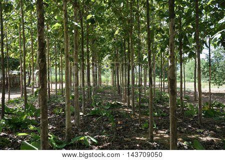 abstract of green environment of teak plantation