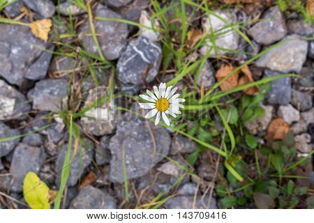 One daisy flower on ground and green grass background