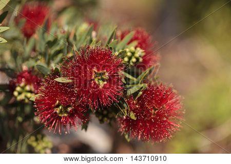 Spiky red puff flower Calliandra haematocephala on a green background in a botanical garden in summer