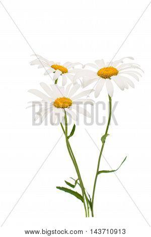 chamomile daisy white flower isolated on white