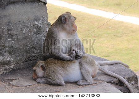 Two crab-eating macaque (Macaca fascicularis) on the steps of Angkor Wat, Cambodia