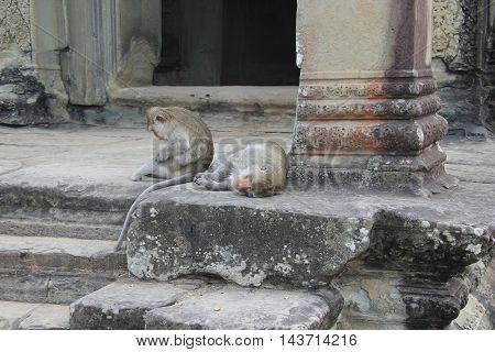 Two Crab-eating (Macaca fascicularis) sit on a step of Angkor Wat, Cambodia
