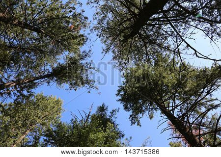 Looking up to the sky through forest trees