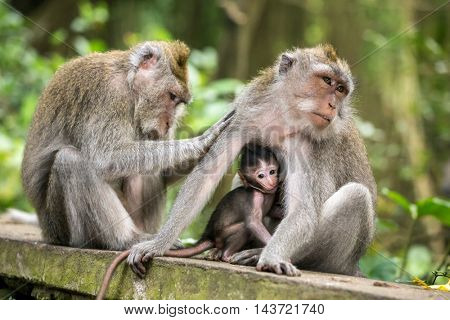 Rhesus macaque monkeys family in Ubud monkey forest, Bali, Indonesia