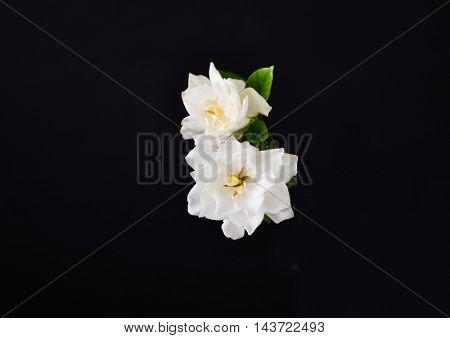 Two gardenia flower on black