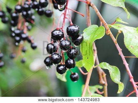 Small branch with black berries of a bird cherry