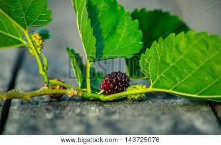 Frash green branch Mulberry on wooden background