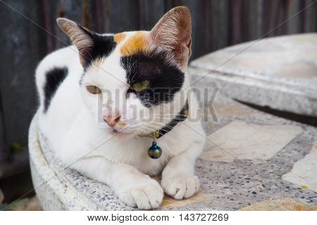 Asian cat black and white color sitting on marble table in day time.