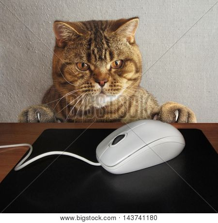 A cat is watching a computer mause. Maybe he want to eat it.
