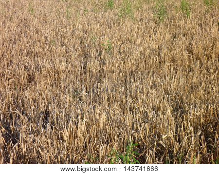 Golden Wheat Field Ready To Be Harvested