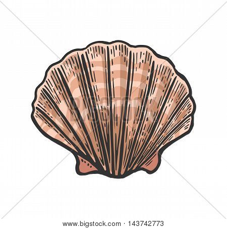 Sea shell Scallop. Color engraving vintage illustration. Isolated on white background
