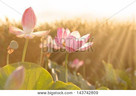 Towards the sun. Flowers of lotus ((Nelumbo nucifera) blossom in Volga delta. Astrakhan region Caspian sea Russia