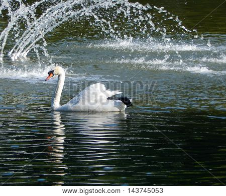Floating White Swan on the Water Surface of Lake at City Park