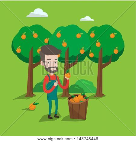 A happy farmer holding an orange on the background of orange trees. A hipster farmer with the beard collecting oranges. Gardener standing near basket full with oranges. Vector flat design illustration