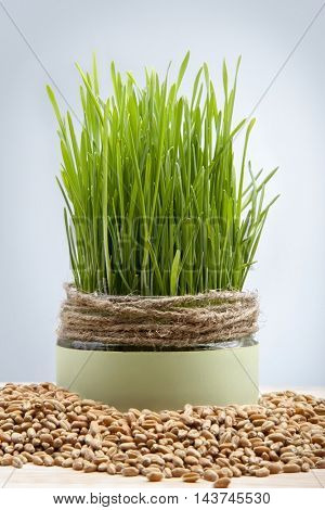 wheat seeds green grass grown in a pot on white background