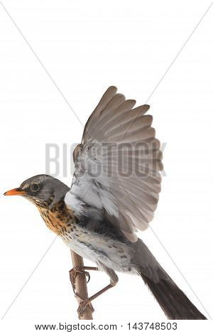 thrush in flight (Turdus pilaris) isolated on white