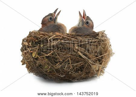 jay's nest with baby birds isolated on a white background