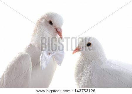 Portrait Wedding doves. symbol of love and wedding.