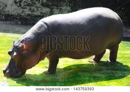 the a hippopotamus on a green background