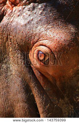the eye portrait of a brown hippopotamus