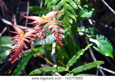 New red fronds of the Gristle Fern (Blechnum cartilagineum) in Australian temperate rainforest, Royal National Park, Sydney