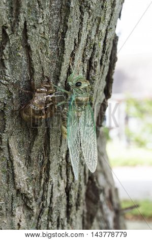 Cicada shedding it's exoskeleton while attached to a tree