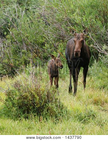 Mother & Baby Moose