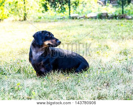 Russelle the weiner dog watching someone walk down the sidewalk