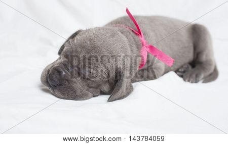 Young purebred Great Dane puppy sound alseep on a white sheet