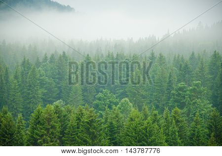 Thick Morning Fog In The Summer Forest.