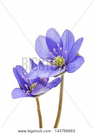 Hepatica nobilis spring on a white background