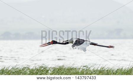 Saddlebill In Mid Flight
