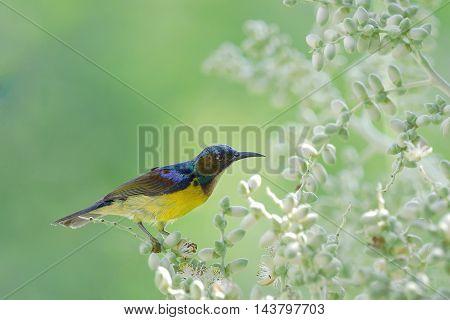 Brown-throated Sunbird ,beautiful Bird Perching On Palm Flower