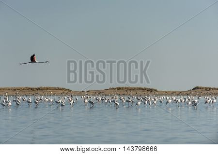 Flock of flamingos with blue sky background.