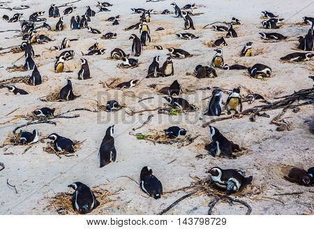 Large herd of black - white penguin on the sandy beach of the Atlantic Ocean. Boulders Penguin Colony, National Park Table Mountain. South Africa