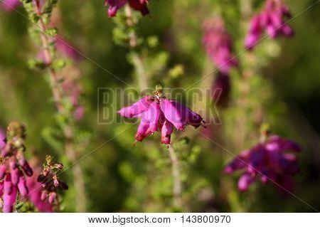 Flowers of a Dorset heath (Erica cilaris)