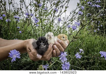 Сute different colored chickens in human's hands
