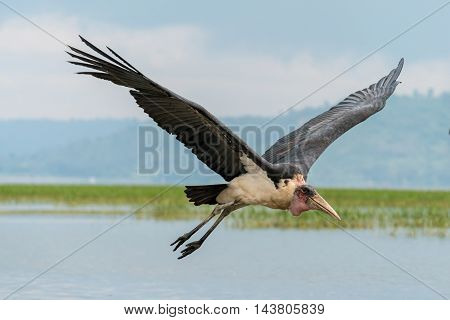 Marabou Stork In Mid Flight