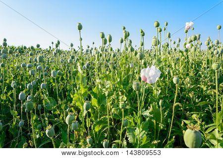 Papaver Somniferum Opium Poppy
