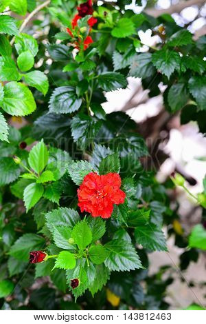 Hibiscus rosa-sinensis Red Flower Rose of Thailand