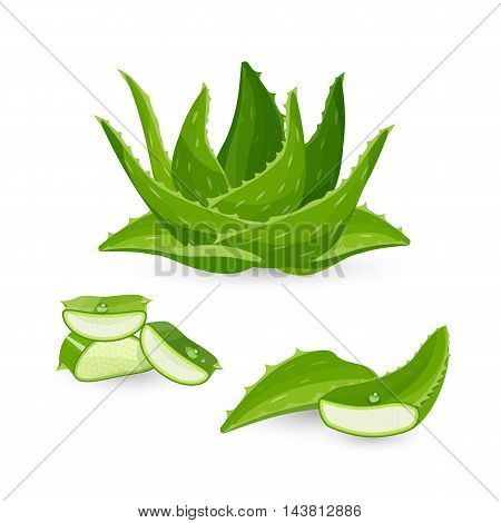 Aloe vera plant and its parts, colorful vector flat illustration