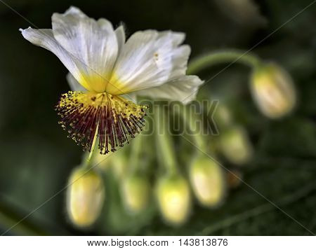 A tilia flower on a bokeh backgound