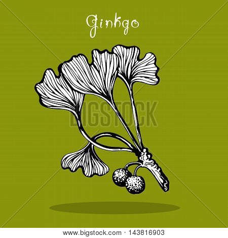 Ginkgo Biloba black and white hand drawn sketch at green background. Doodle style botanical card for traditional medicine, gardening or cooking design. Vector illustration.