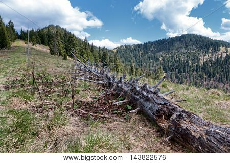Dead tree in forest - Great Fatra mountain range Slovakia